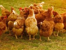 chickens-4145198_1280.jpg